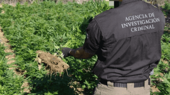 Destruyen FGR siembra de mariguana en comunidad cucapá