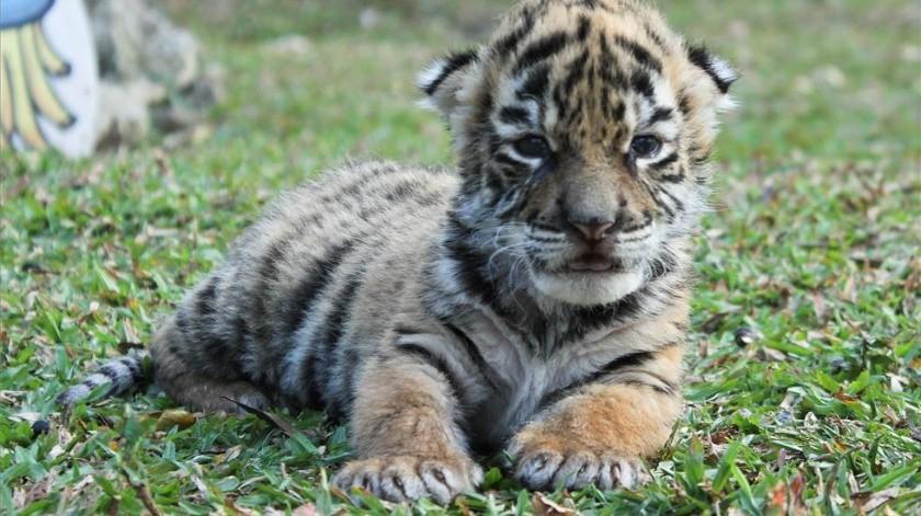 El pequeño tigre, de escasos días de vida, se encuentra fuerte y con buen peso.(Twitter)