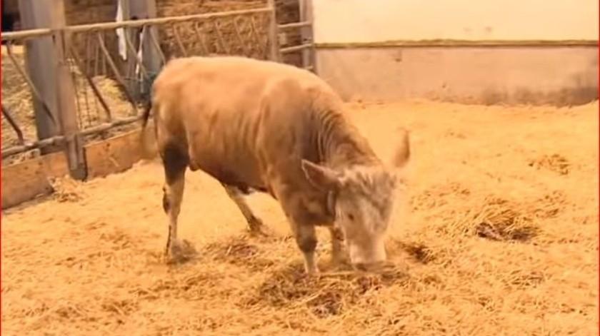 La vaca era uno de los millones de animales destinados a vivir en una granja industrial.