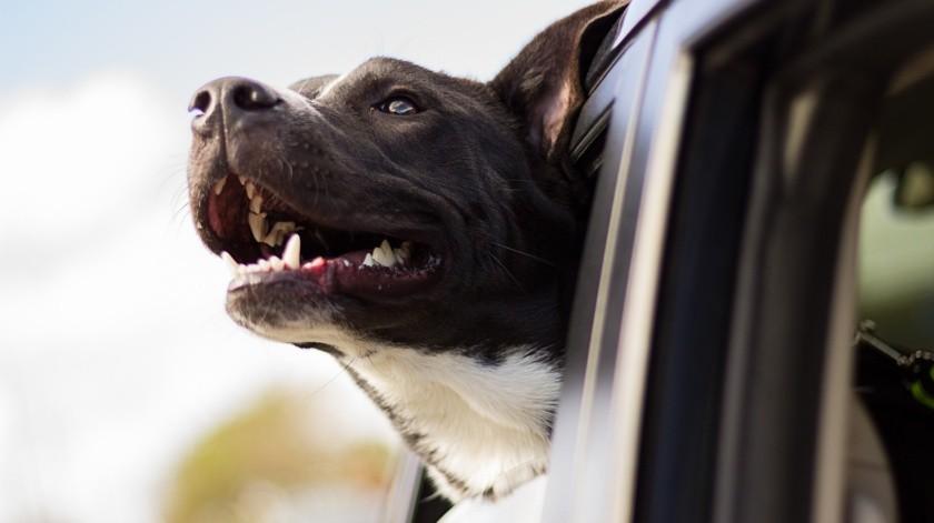 Arrestan a hombre que supuestamente le enseñaba a conducir a su perro(Pixabay)