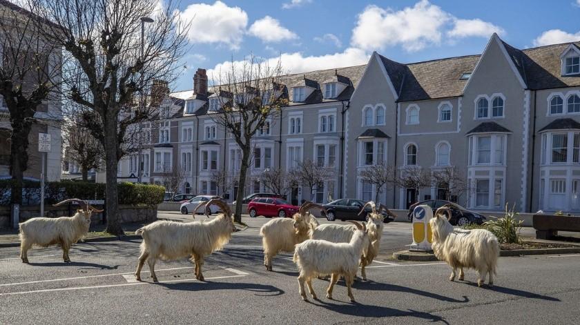 Cabras toman una ciudad de Gales en plena cuarentena(AP)