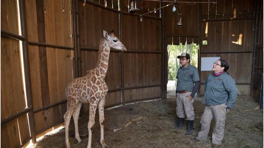 Un zoo en tiempos del coronavirus(AP)