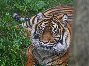 La felina, un tigresa malaya de 4 años, llamada Nadia, desarrolló una tos seca y una disminución del apetito.