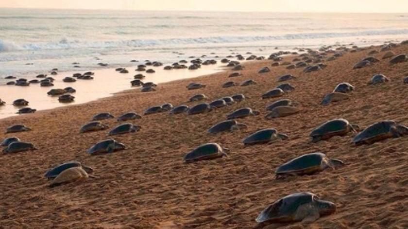 Miles de tortugas llegan a las playas vacías de la India