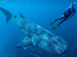 Determinan edad de tiburones ballena por primera vez gracias a restos de bombas atómicas