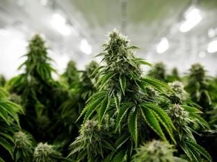 Más lugares en el mundo confían en los beneficios de la planta del cannabis.