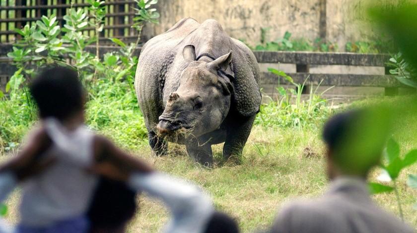 VIDEO: Rinoceronte persigue a un hombre que no respetó la cuarentena(AFP)