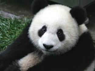 Tratan por 10 años que pandas se apareen en zoológico, solo necesitaban privacidad