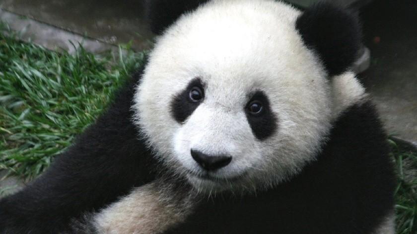 Tratan por 10 años que pandas se apareen en zoológico, solo necesitaban privacidad(Pixabay)
