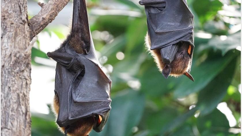 """Esto hace a los murciélagos """"aliados"""" de los humanos en control de enfermedades(Pixabay)"""