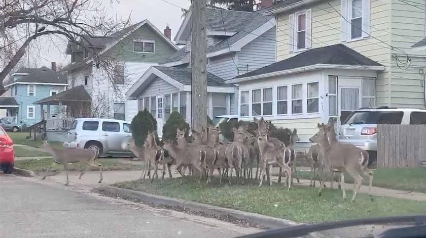 Ciervos salen a pasear por las calles de Michigan(Tomada de la red)
