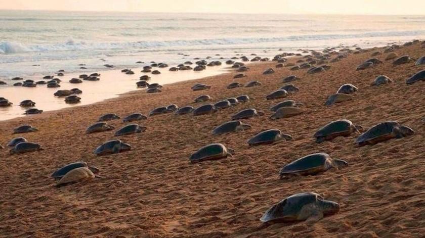 Tortugas invaden una playa vacía para anidar por primera vez después de años.(Internet)