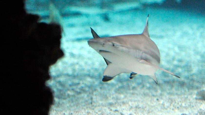 Buzo 'hipnotiza' a un tiburón para sacarle un anzuelo de la mandíbula(AP)