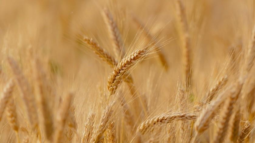 La Secretaría de Agricultura y Desarrollo Rural (Sader) indicó que el aumento fue resultado de los incentivos del Programa Precios de Garantía, impulsados por el Gobierno de México,(Pixabay)