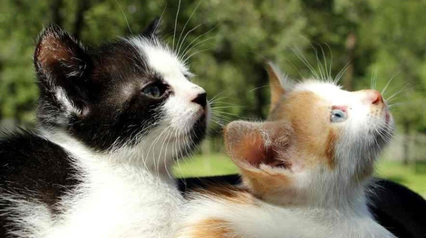 Dos gatos, primeras mascotas que dan positivo en USA por coronavirus(Tomada de la red)