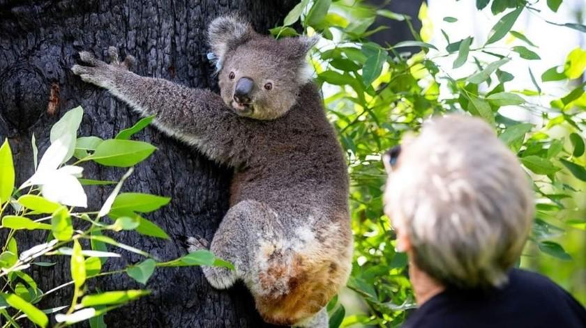 Una de las marsupiales más famosas que salieron de este recinto es Anwen, ya que sufrió quemaduras en el 90% de su cuerpo.(@koalahospital)