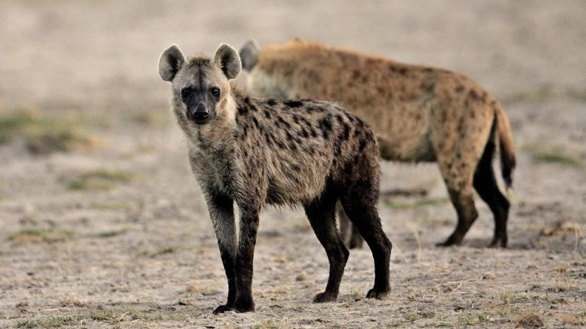 Niña de dos años juega con una manada de hienas(AP)