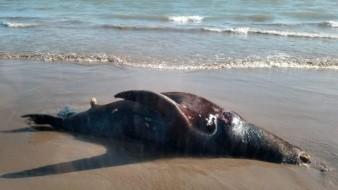 Aparecen en playa animales muertos