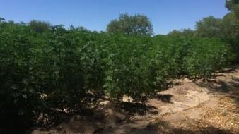 Un gran plantío de mariguana y tres invernaderos fueron asegurados por elementos del Tercer Regimiento de Caballería Motorizado en las inmediaciones del municipio de Imuris, Sonora.