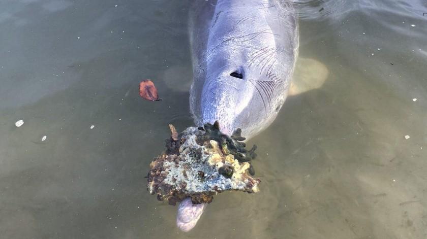 Ingenioso delfín lleva regalos a los humanos a cambio de comida
