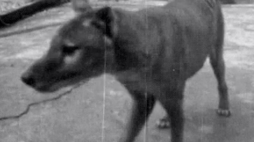 Estas son las últimas imágenes grabadas a un tigre de Tasmania vivo