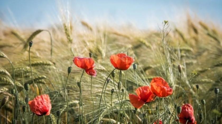 Sedena localiza más de 24 hectáreas de cultivo de amapola en Trincheras(Ilustrativa/Pixabay)