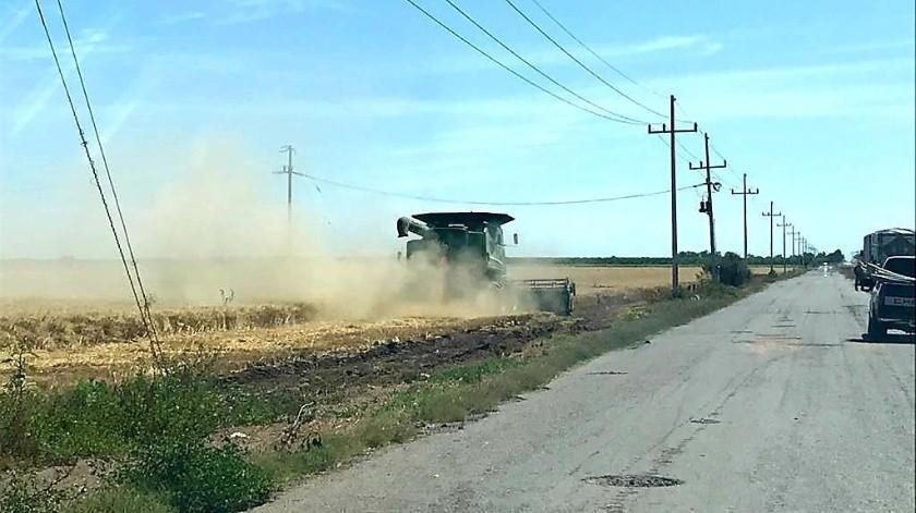 Ya va muy avanzada la cosecha de trigo en el Valle del Yaqui.(Banco Digital)