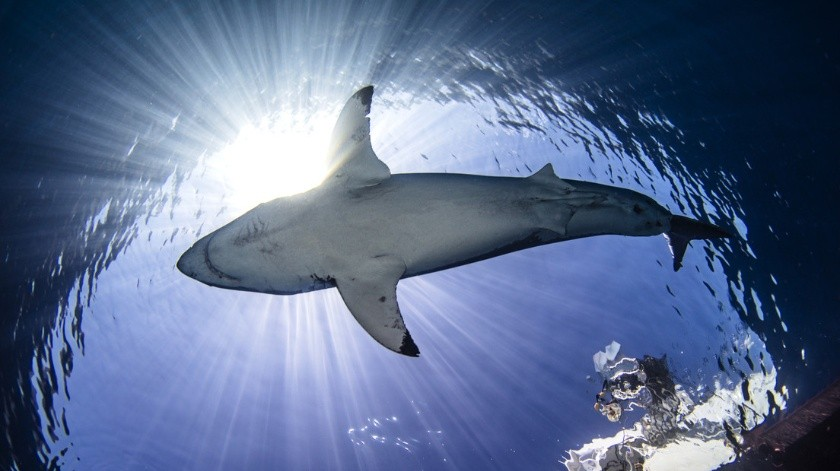 Graban a una manada de tiburones hambrientos como cazan un enorme banco de peces(Tomada de la red)