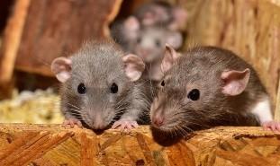 Con menos gente en las calles, los roedores hambrientos exploran nuevos lugares donde conseguir comida.
