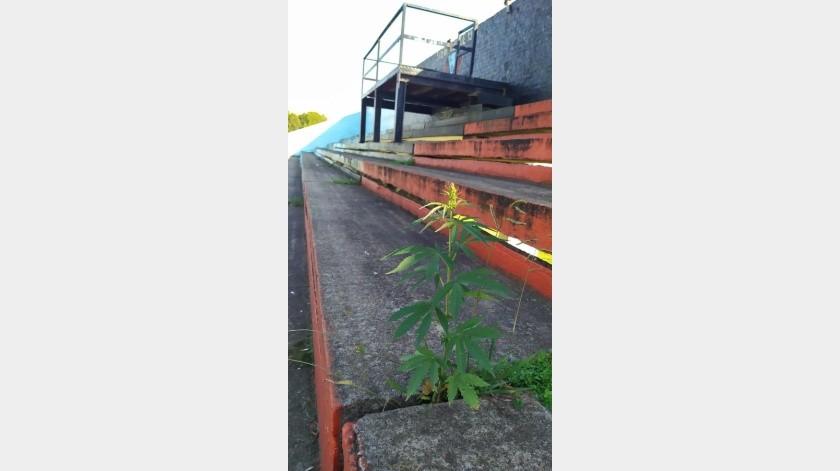 Planta de mariguana florece en las gradas de un estadio de fútbol tras dos meses de inactividad(Tomada de la red)