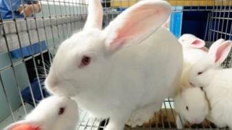 Trabajan México y EU para contener brote de enfermedad hemorrágica del conejo