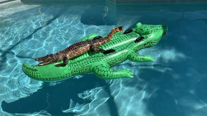 Encuentra un cocodrilo relajándose sobre un cocodrilo inflable(Tomada de la red)