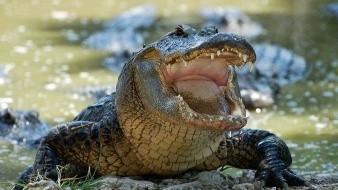 Graban a cocodrilo queriendo comerse un cuadro de una tortuga