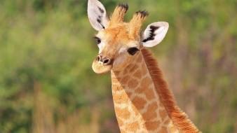 Se enredan jirafas durante singular pelea