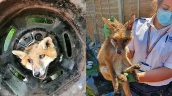El rescate de un zorro cuya cabeza quedó atorada en la llanta de un auto