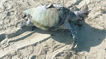 Tortugas marinas mueren por heridas de redes de pesca