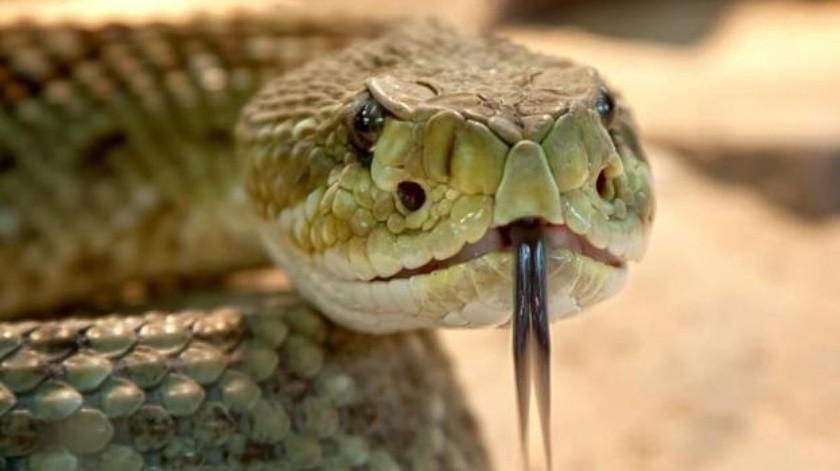 Mure un joven por mordedura de una de sus 25 serpientes(Tomada de la red)