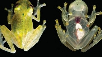 El gran secreto de las ranas de cristal