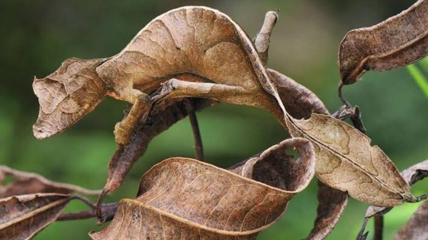 Asombroso el camuflaje de un camaleón(Tomada de la red)