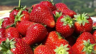 Sobresale el cultivo de la fresa con el establecimiento de 2 mil 967.50 hectáreas.