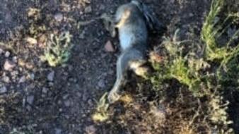 Alerta en BC por enfermedad  hemorrágica viral del conejo
