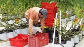 Las principales zonas productoras del fruto son San Quintín, Maneadero, San Vicente y Ojos Negros, principalmente.