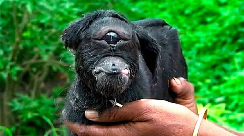 Nace cabra con un ojo(Tomada de la red)