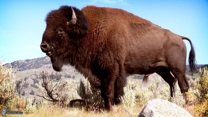 Búfalo  cornea a cazador que le disparó(Tomada de la red)