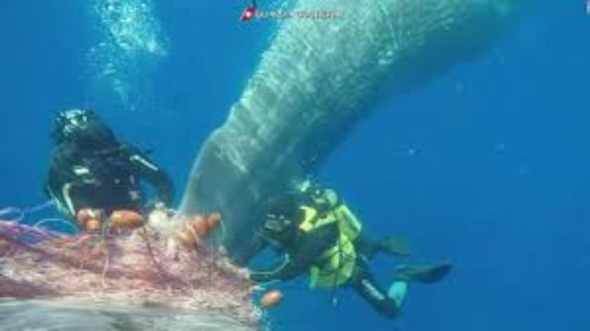 Buzos liberan a ballena atrapada(Tomada de la red)