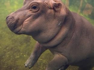 Fiona, la hipopótamo que se cree delfín