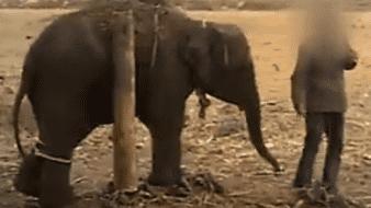"""Cruel """"entrenamiento"""" que viven los elefantes usados para el turismo en Tailandia: World Animal Protection"""