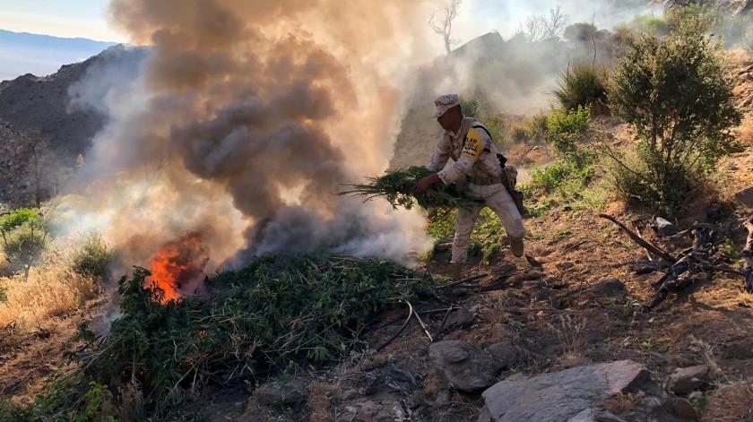 Localizan y destruyen plantío de mariguana en Valle Trinidad(Cortesía)