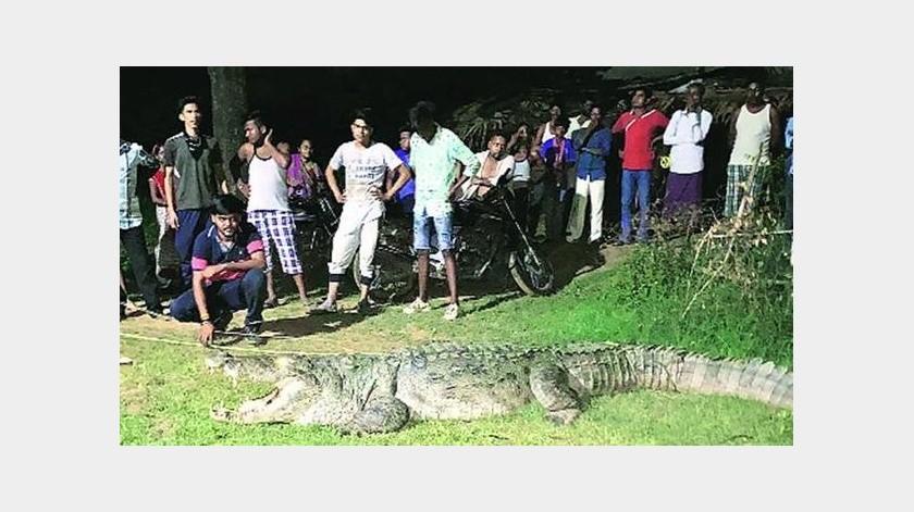Atrapan a cocodrilo que atacó a 7 personas(Tomada de la red)