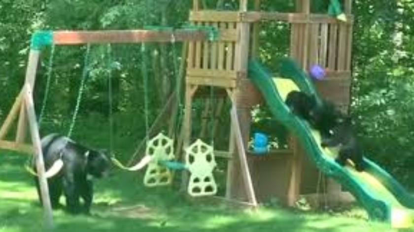Osos se divierten en parque(Tomada de la red)